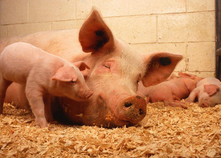 farming-livestock-mammal-pink-pork-fauna-954798-pxhere.com